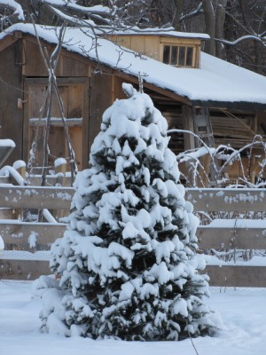 the Christmas tree outside all covered with snow