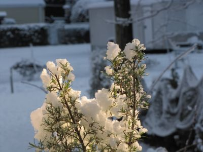 snow on the rosemary plant