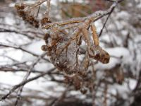 a layer of ice on dried spirea flowers