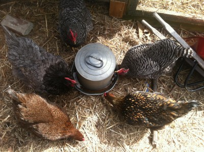the hens around their waterer, seen from above