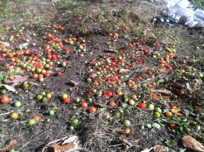 hundreds of fallen cherry tomatoes after we pulled the plants
