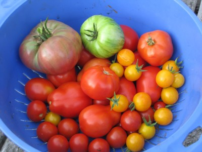 lots of tomatoes of different colors and sizes in a big blue bowl