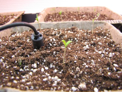 the first tomato seedlings of 2010