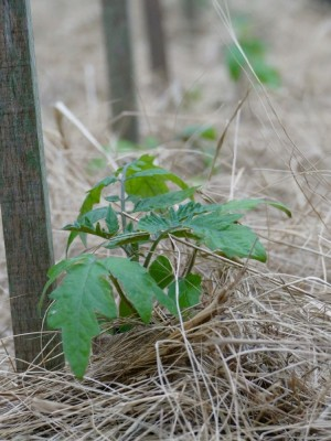 a small tomato plant mulched with marsh hay