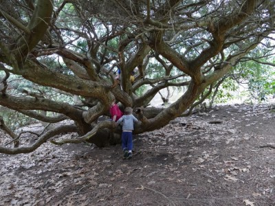 the kids climbing on a giant, many-trunked evergreen shrub