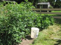 18 tomato plants