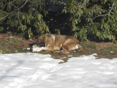 Rascal lying on a grassy patch on the lawn, surrounded by snow