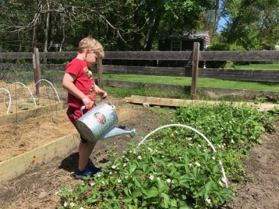 Zion watering the strawberry patch