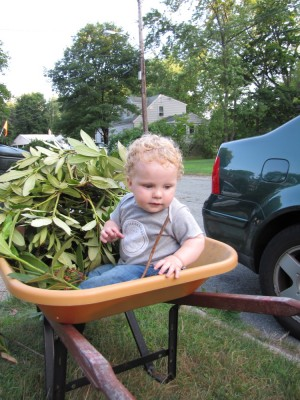 Harvey in the wheelbarrow with some leaves