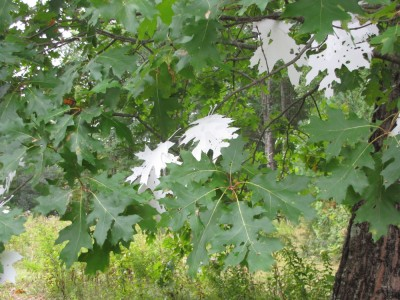 an instalation: white plastic leaves in the oak tree