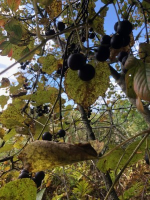 wild grapes growing