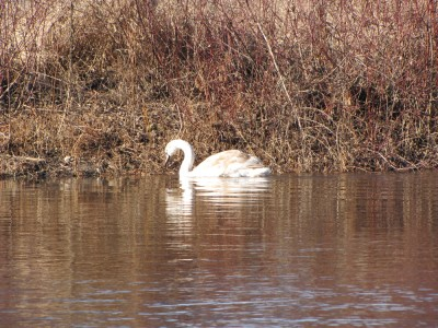 a fledgeling swan in the shallows by the opposite bank