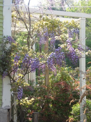 the wisteria flowering on the trellis