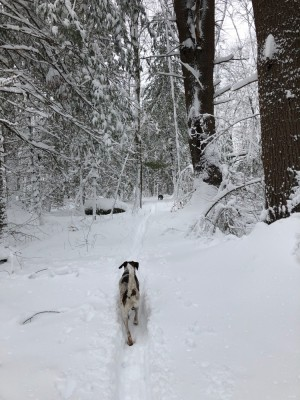 the dogs ahead of me in the snowy woods