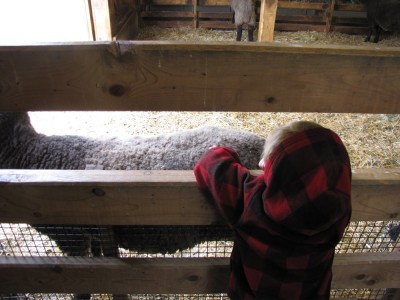 Zion petting a sheep through the slats of the pen