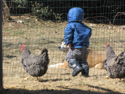 Zion walking past the chickens and Rascal