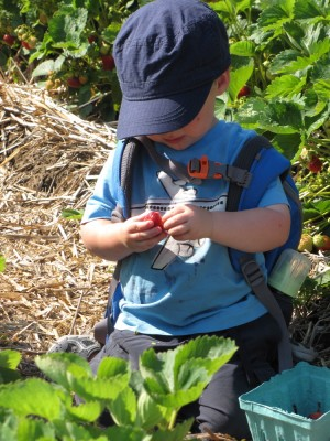 Zion studiously eating a strawberry, among the plants